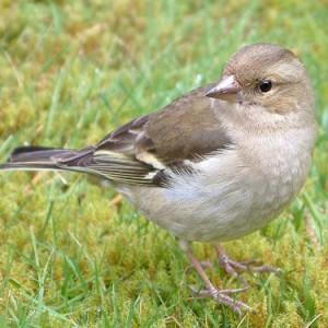 chaffinch-female-jim-mcglasson-1-0404