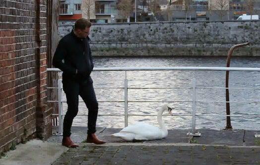 Limerick Swan Whisperer