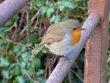 The very friendly robin