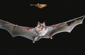 Virtual Bat Walk