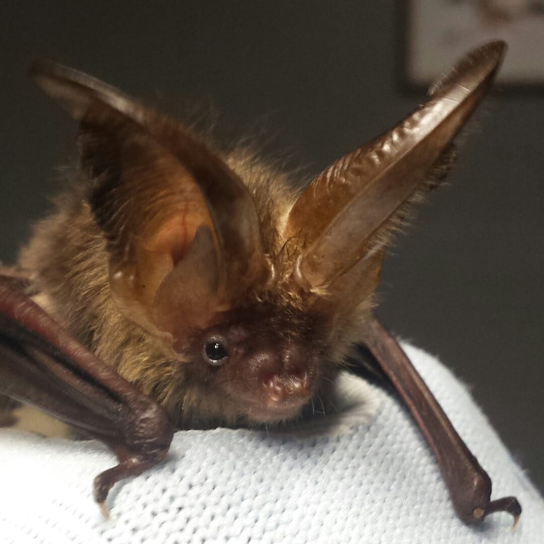 Bat Rehabilitation Ireland