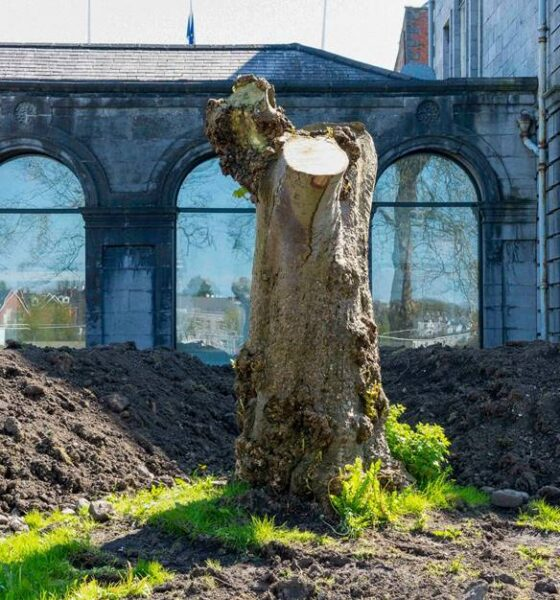 Garden Tree Sculpture Competition- The Hunt Museum has launched a cash prize competition to create a sculpture from the Chestnut tree stump for their new Museum in a Garden.