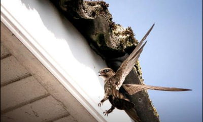 Save swifts project - An ambitious new multi-stakeholder led conservation project to entice high-flyers to stay briefly and breed, building nest-boxes at five locations in Limerick City.